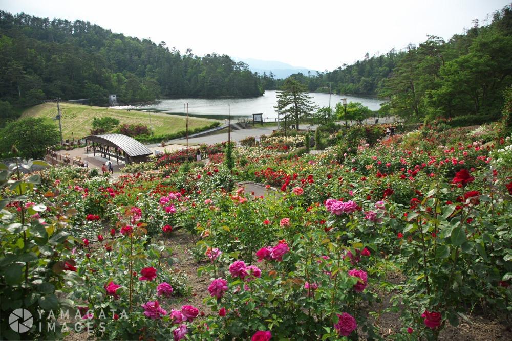東沢バラ公園 | 村山市 | ヤマガタイメージズ - 山形を旅する ...